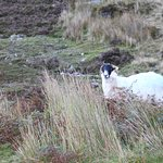 A Majestic but loose bowel'ed sheep of the glen.