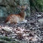 Bambi en vrai