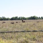 buffalo herd, most were lying down