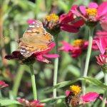 A Butterfly on a flower in the garden outside