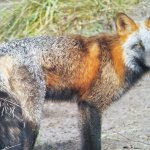 Crazy wild fox