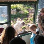 Lion feeding presentation and feeding