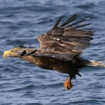 Sea Eagle as seen on a Mull Charters trip
