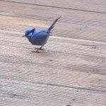 Male Blue Wren in for breakfast