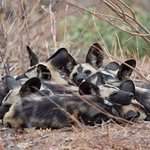 Extremely rare wild dogs