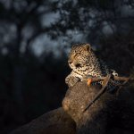 Night sighting of a leopard