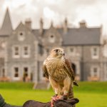 Falconry at Mount Falcon Estate