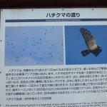 ハチクマ(タカの種類)渡り