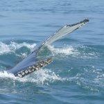 een van de prachtige walvisstaarten