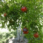 Pomegranite orchards nearby - jam is great!!