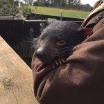 Female Tasmanian Devil