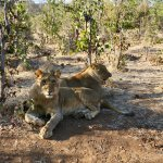 Playful lions