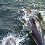 Dolphins off the bow of the ferry