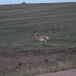 In the middle of sage that pronghorn love