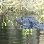 One of the many alligators we saw from the airboat...... the boat ride was fun and very informat