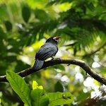 White-fronted nunbird (Monasa morphoeus)