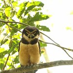 Spectacled owl, (Pulsatrix perspicillata)
