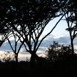 Sunset through canopy of umbrella acacias