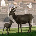 A bighorn sheep ewwe with her lamb in front of the basketball courts.