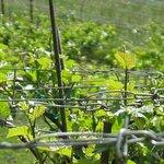Pinot Noir Estate Vineyard