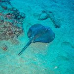 Ray near Cathedral Cave Puerto Del Carmen