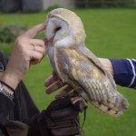 Barn Owl (after feeding)