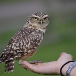 Little Owl Personality