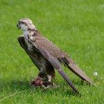 Falcon ready to fly