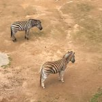 Zebras in the South Africa enclosure