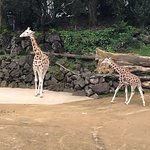 Giraffes at the South Africa enclosure