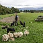 Working Sheepdogs