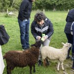 Feeding sheeps