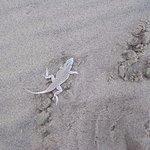 A shovel-snouted lizard