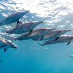 Dolphin swimming with JPH Charters