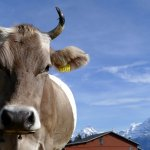 The friendliest cow on the Niederhorn (Eiger in the background!)
