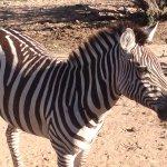 Zebras running and bucking, so cute