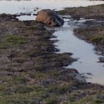 Our Best Hippo Sighting Yet!