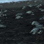 Ostinial beach, Ridley turtles