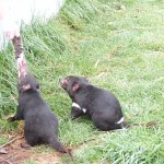 We watched the Tasmanian devils being fed at East Coast Natureworld