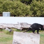 Tasmanian Devil darting around in its enclosure at East Coast Natureworld