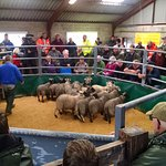 Sheep auction - Thanks for the tip, Dianne!