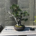 one of the many bonsai's.