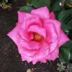 Photo de Raleigh Little Theatre Rose Garden