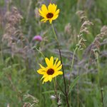 One of the wildflowers, a sunflower.