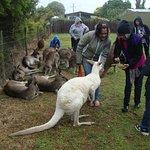 Kangaroos in Maru Koala Animal Park