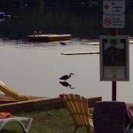 A visit from the Blue Heron