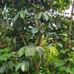 Coffee plant - community walk