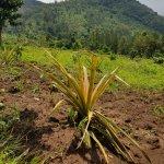 Pineapple plantations - community walk