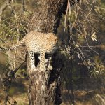 Leopard looking for meal