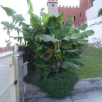 Banana plant just inside the private gate between beach and hotel.